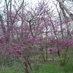 Red bud and Wild plum blooming